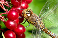 late zomer insecten libel vieg