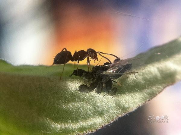 Project 52 huishouden van de mier