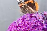 Vlinderstruik week 4